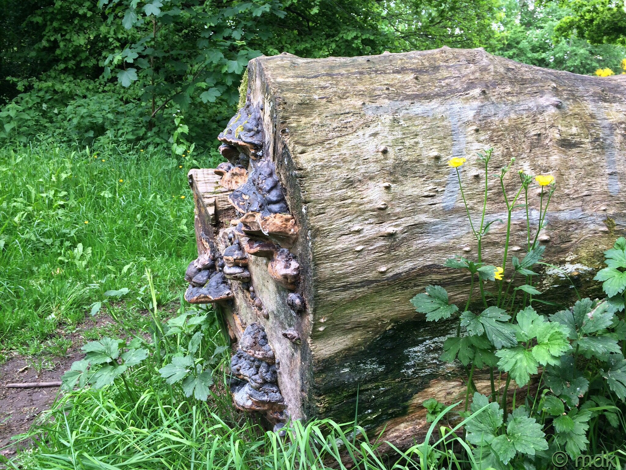 Horse hoof fungi