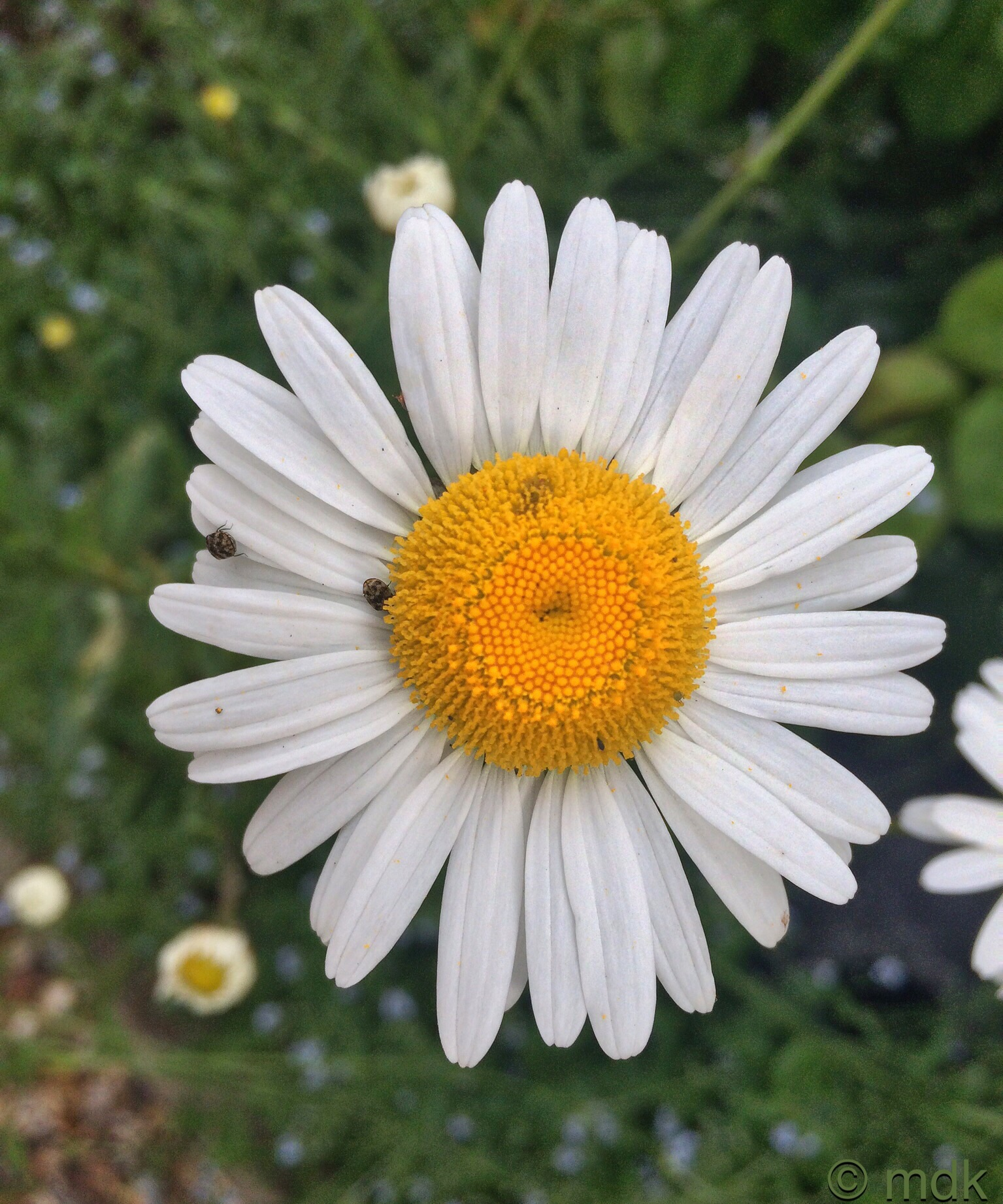 Oxeye daisy and carpet beetles