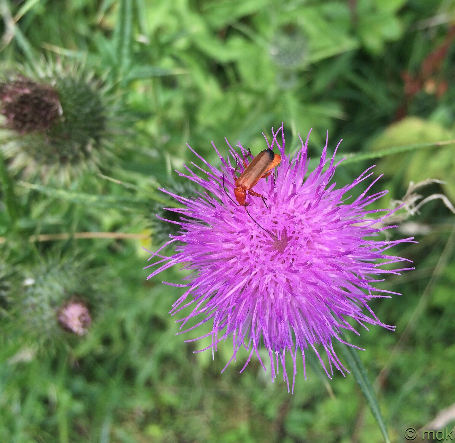 Red soldier beetle on the knapweed