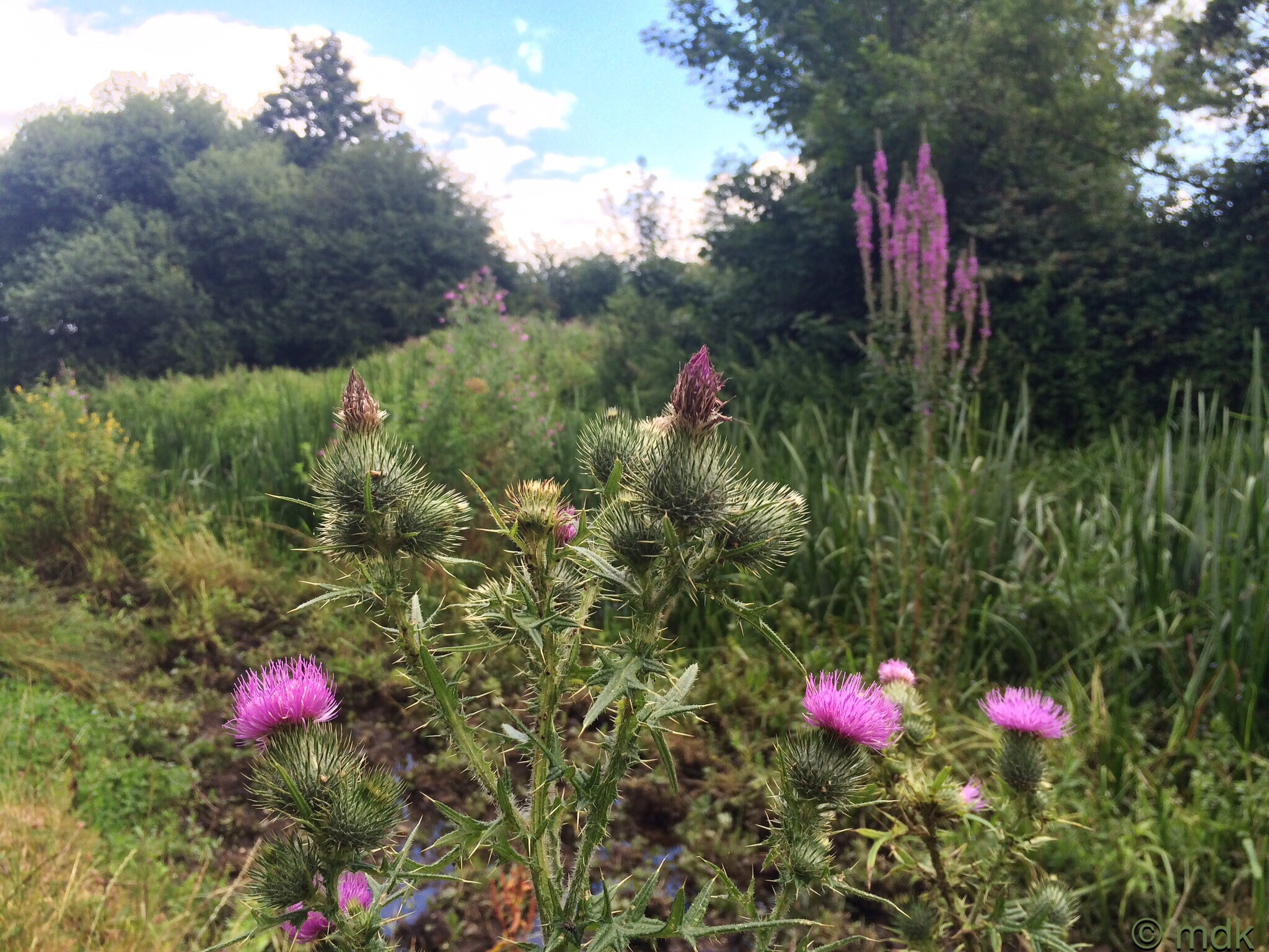 Knapweed, willowherb and toadflax