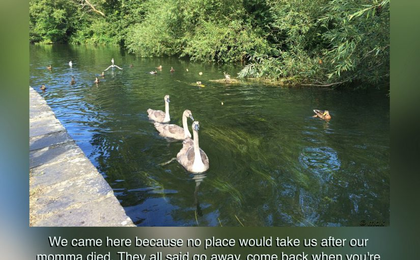 Orphan Cygnets – first published 1 August 2014